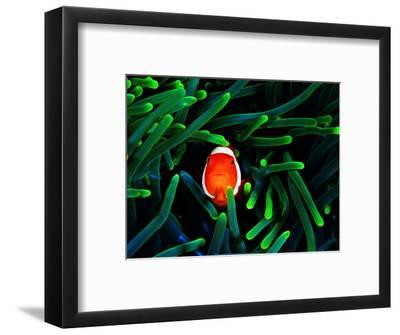 Clown Fish (Amphiprion Ocellaris)-Andrea Ferrari-Framed Photographic Print