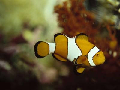 Clown Fish, Great Barrier Reef, Australia-Ernest Manewal-Photographic Print
