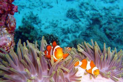 Clown Fishes-takau99-Photographic Print