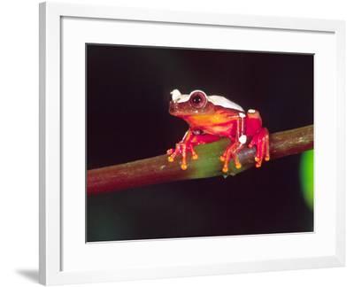Clown Tree Frog, Native to Surinam, South America-David Northcott-Framed Photographic Print