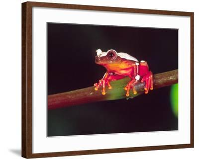 Clown Tree Frog, Native to Surinam, South America-David Northcott-Framed Photographic Print