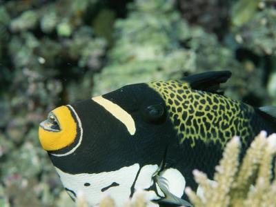 Clown Triggerfish, Balistoides Conspicillum, Near Fingers of Coral-Tim Laman-Photographic Print