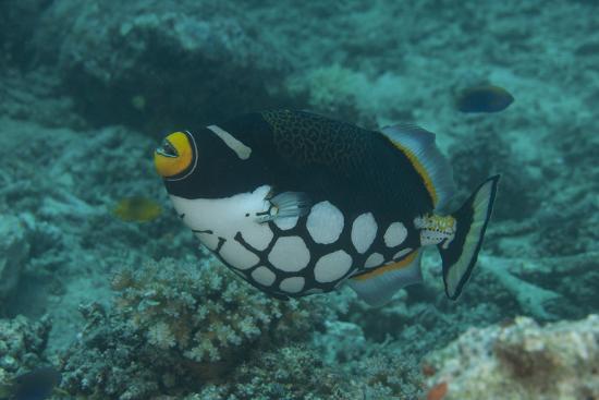 Clown Triggerfish Swimming in Fiji-Stocktrek Images-Photographic Print