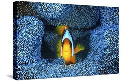 Clownfish In Blue Anemone-Barathieu Gabriel-Stretched Canvas Print