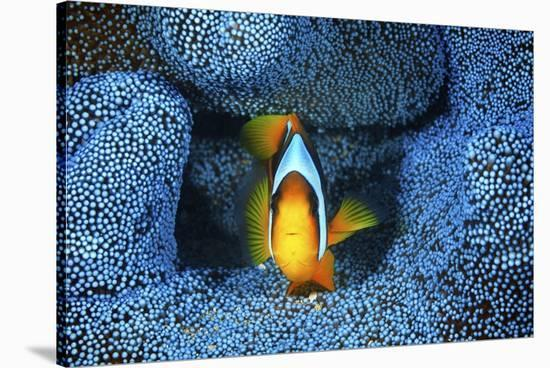 Clownfish In Blue Anemone-Barathieu Gabriel-Stretched Canvas Print