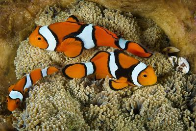Clownfish Rest Inside their Host Anemone with Porcelain Crab-David Doubilet-Photographic Print