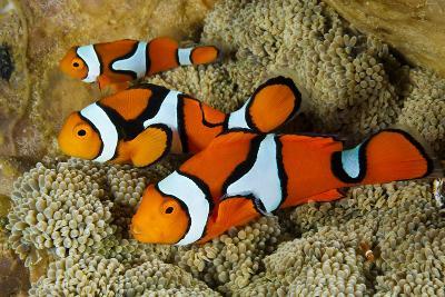 Clownfish Rest Inside their Host Anemone-David Doubilet-Photographic Print