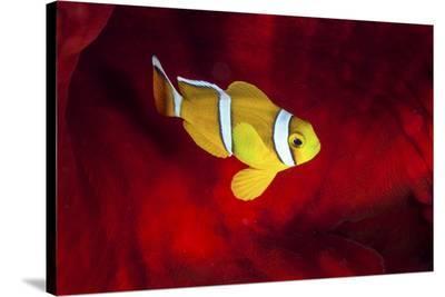Clownfish-Barathieu Gabriel-Stretched Canvas Print