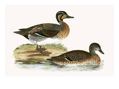 Clucking Teal,  from 'A History of the Birds of Europe Not Observed in the British Isles'-English-Giclee Print