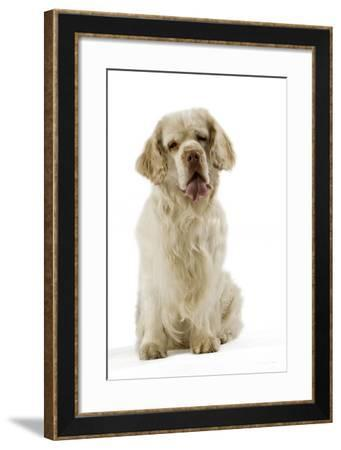 Clumber Spaniel Sitting Down--Framed Photographic Print