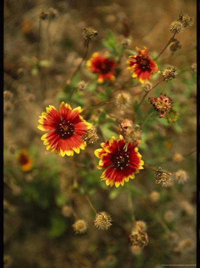 Clump of Fire Wheel Flowers in Bloom-Raymond Gehman-Photographic Print
