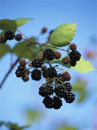 Cluster of Blackberries Ripen on a Vine-Raymond Gehman-Photographic Print
