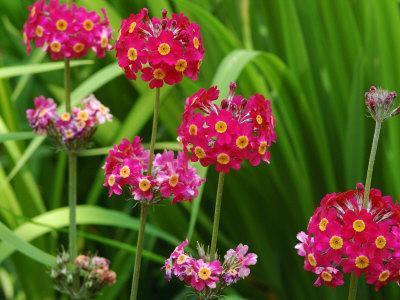 Cluster of Candelabra Primula Flower Stalks-Darlyne A^ Murawski-Photographic Print