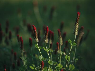 Cluster of Crimson Clover Blossoms-Raymond Gehman-Photographic Print