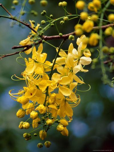 Cluster of Flowers Cascades From a Golden Shower Tree-Jason Edwards-Photographic Print