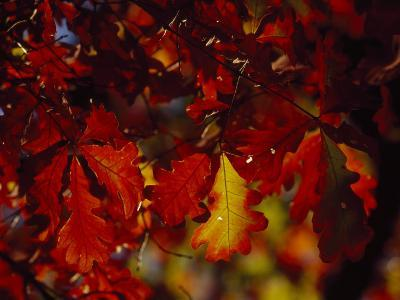 Clusters of Colorful Oak Leaves in Fall Colors-Raymond Gehman-Photographic Print