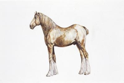 Clydesdale Horse (Equus Caballus)--Giclee Print