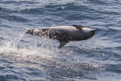Clymene Dolphin (Stenella Clymene) Spinning, Caught Belly Uppermost, Senegal, West Africa, Africa-Mick Baines-Photographic Print