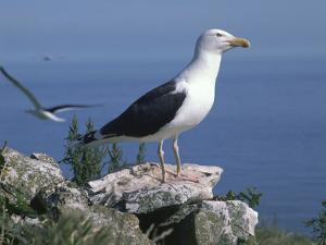 Greater Black Back Gull by CM Dixon
