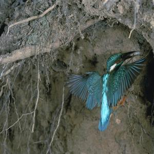 Kingfisher and Worm by CM Dixon