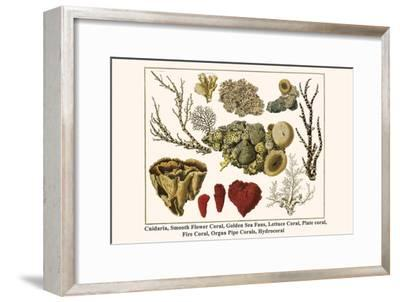 Cnidaria, Smooth Flower Coral, Golden Sea Fans, Lettuce Coral, Plate Coral, Fire Coral, etc.-Albertus Seba-Framed Art Print