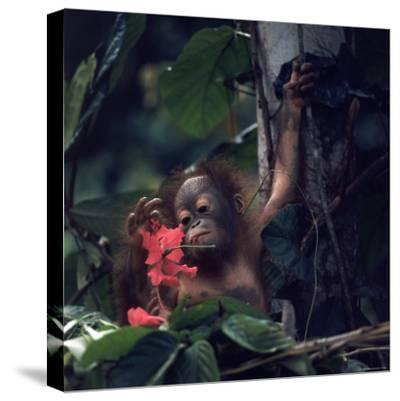 Baby Orangutan in the Jungles of North Borneo
