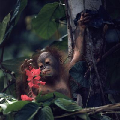 Baby Orangutan in the Jungles of North Borneo by Co Rentmeester