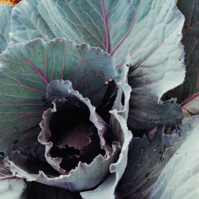 Close-Up of Pesticide-Free, Dew-Covered Cabbage Leaves with Worn Holes, Raised Organically