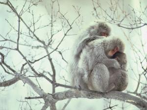 Family of Japanese Macaques Sitting in Tree in Shiga Mountains by Co Rentmeester