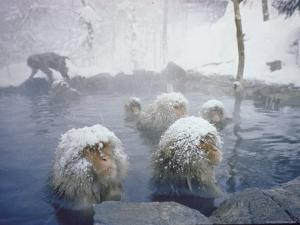 Japanese Macaques Sitting in Hot Spring in Shiga Mountains by Co Rentmeester