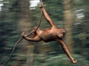 Orangutan Swinging from a Vine in the Jungles of North Borneo by Co Rentmeester