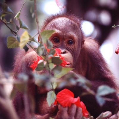 Orangutans in Captivity, Sandakan, Soabah, and Malasia, Town in Br. North Borneo