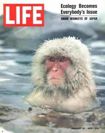 Snow Monkey of Japan in Water, January 30, 1970