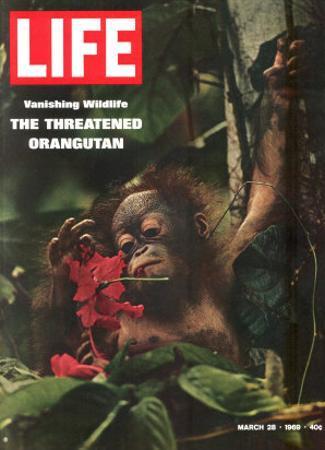 Vanishing Wildlife: The Threatened Orangutan, March 28, 1969