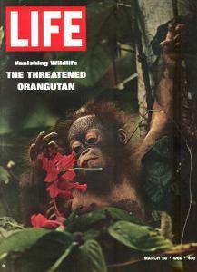 Vanishing Wildlife: The Threatened Orangutan, March 28, 1969 by Co Rentmeester