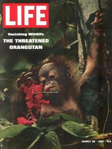 Vanishing Wildlife: The Threatened Orangutan, March 28, 1969 by Co Rentmeester