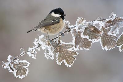 https://imgc.artprintimages.com/img/print/coal-tit-periparus-ater-adult-perched-in-winter-scotland-uk-december_u-l-q10o3of0.jpg?p=0