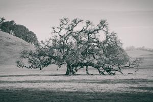Coast Live Oak Elegance in Black and White, Northern California