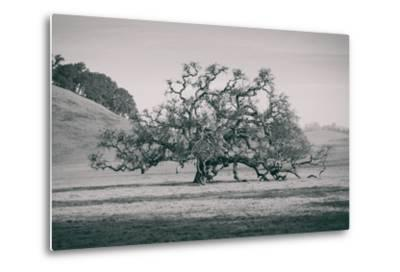Coast Live Oak Elegance in Black and White, Northern California