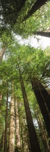 Coast Redwood (Sequoia Sempivirens) Trees in a Forest, California, USA