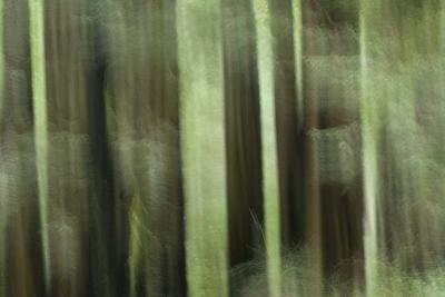 Coast Redwood Trees, Sequoia Sempervirens, in Redwood National Park-Philip Schermeister-Photographic Print