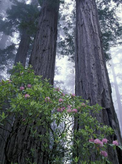Coast Trail, Redwoods and Rhododendrons, Del Norte Coast State Park, California, USA-Jamie & Judy Wild-Photographic Print