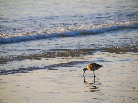 Coastal Bird, Morro Bay Coast-Anna Miller-Photographic Print