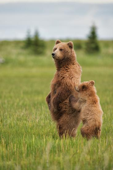Coastal Brown Bears Standing Up in a Sedge Field in Lake Clark National Park-Andrew Czerniak-Photographic Print