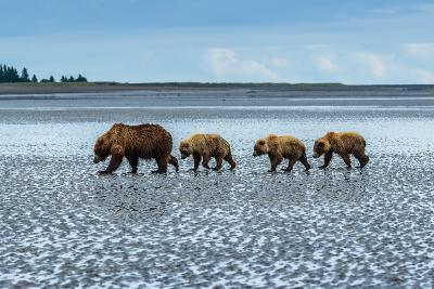 Coastal Brown Bears Walking across a Tidal Flat in Lake Clark National Park, Alaska-Ralph Lee Hopkins-Photographic Print