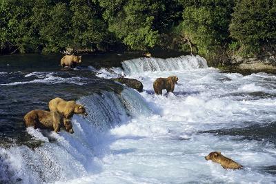 Coastal Grizzlies or Alaskan Brown Bears Fishing--Photographic Print