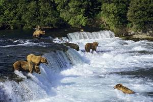 Coastal Grizzlies or Alaskan Brown Bears Fishing