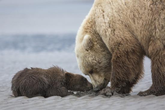 Coastal Grizzly bear cub begs for a clam. Lake Clark National Park, Alaska.-Brenda Tharp-Premium Photographic Print