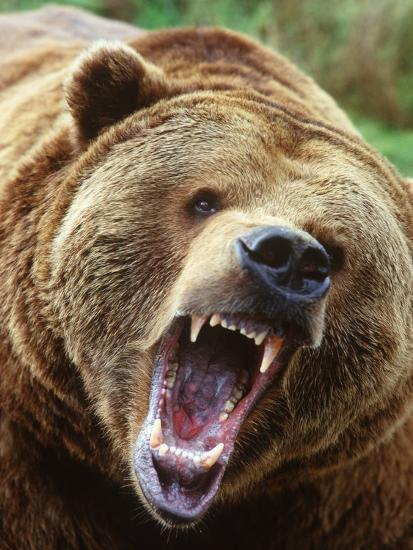 Coastal Grizzly Bear (Ursus Horribilus), Full Face Snarling, British Columbia, Canada.-Chris Cheadle-Photographic Print