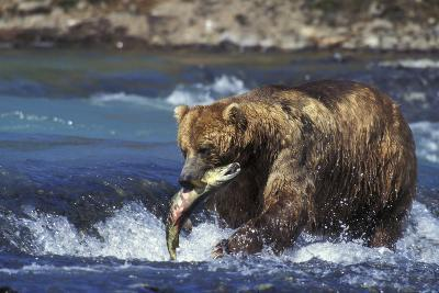 Coastal Grizzly Bear with Salmon in Mouth--Photographic Print